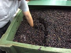 16 - Wine mash 02 / Weinmaische 02