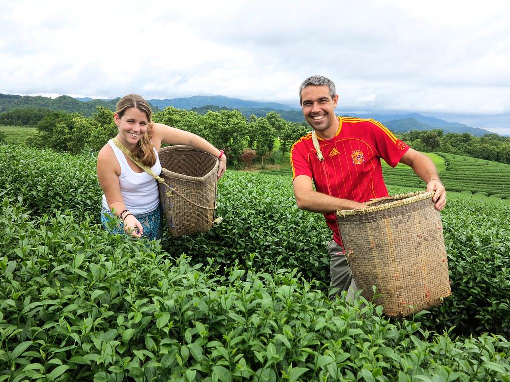 Plantaciones de te de Mae Salong