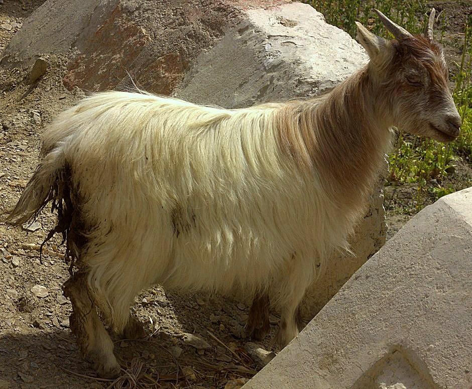 Mountain goats near Kargil
