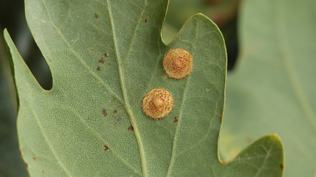 Common Spangle Gall