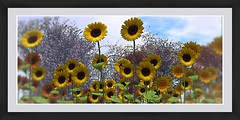 Bee Designs Sunflowers
