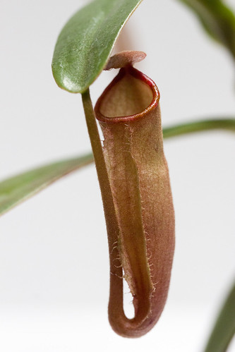 Nepenthes vieillardii BE tc