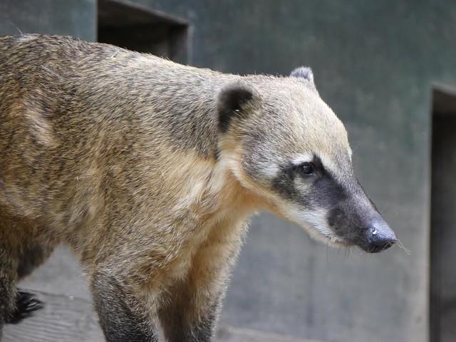 Südamerikanischer Nasenbär, Zoo Prag