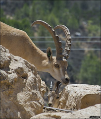 Nubian Ibex in Jerusalem-Biblical-Zoo-IZE-367