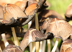 Toadstools close up