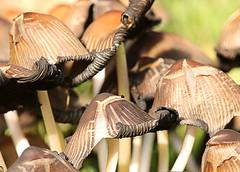 Toadstools close up