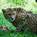 Cheetah Protective of Meal at National Zoo