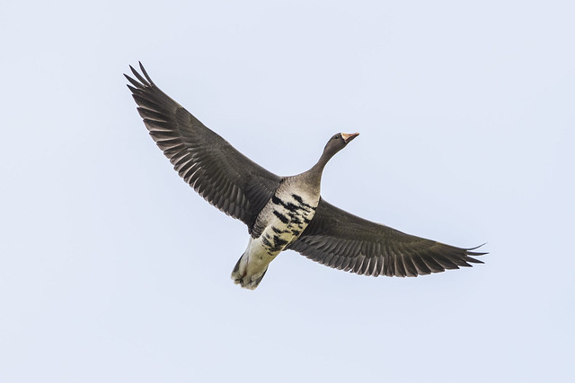Greater White- fronted goose