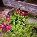 Flowers and Split Rail