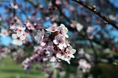 2017 Cherry Blossoms 4