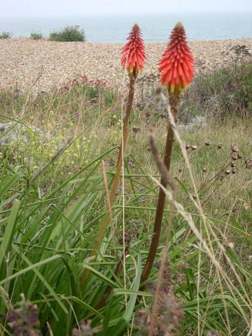 knophofia on walmer beach