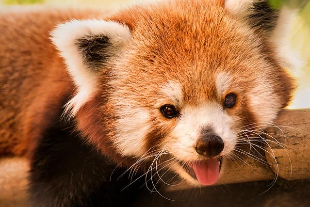 Red Panda-Phila 3-0 F LR 9-16-17 J717