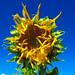 Bee not impressed by strange species of sunflower