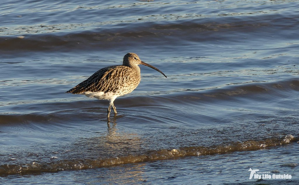 P1120300 - Curlew