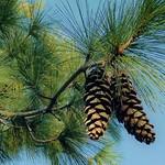 Photos des lecteurs | Pignes - pins des Landes