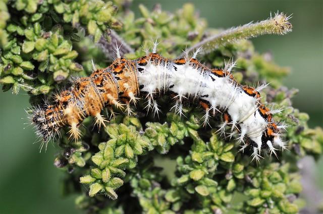 Comma final instar larva., Nikon D5000, Sigma Macro 105mm F2.8 EX DG