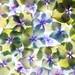 Hydrangae petals squared