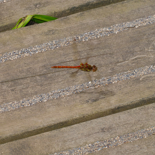 Common darter flying over decking