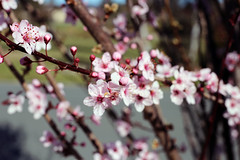 2017 Cherry Blossoms 3