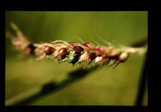 Malalui Kajian Yang Dijalankan,benih Sambau Marah Adalah Mandul Dan Pertumbuhan Sambau Merah Selalunya Melaluin Mata Tunas Atau Ruas Dan Anak Yang Tumbuh Dari Batang Yang Menjalar.