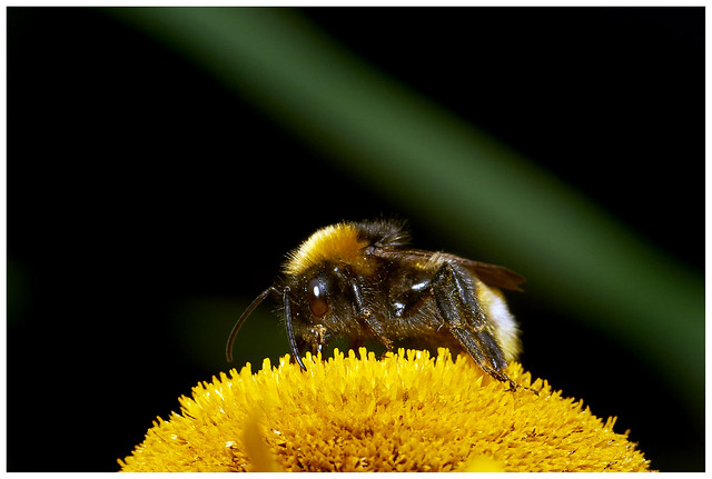 Bee On A 'Rothchilds Sunflower'.
