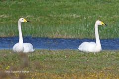 Singschwan Whooper Swan