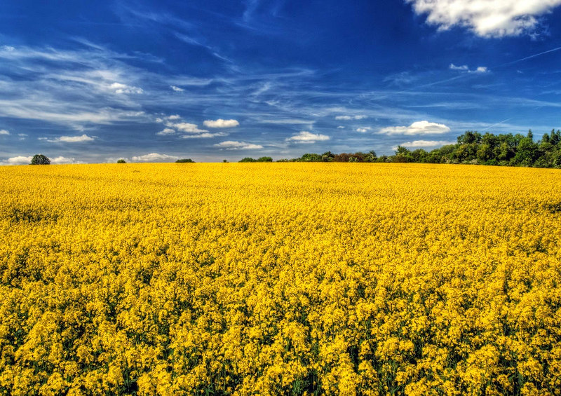 Canola (rapeseed) crop near Winchester. Credit, Neil Howard