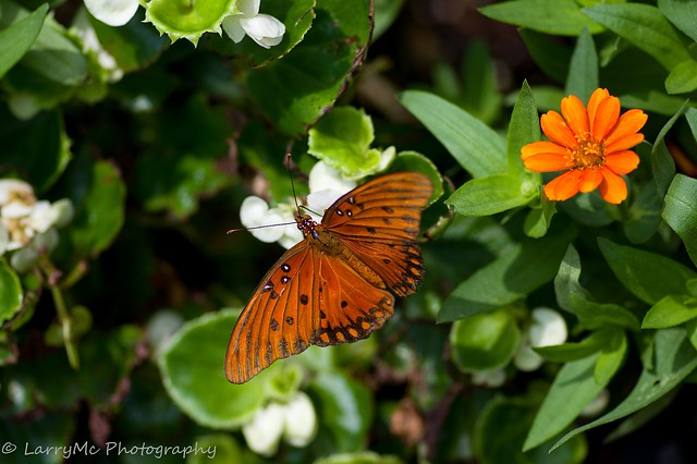 Spotted this Gulf Fritillary, RICOH PENTAX K-3, smc PENTAX-D FA Macro 100mm F2.8 WR