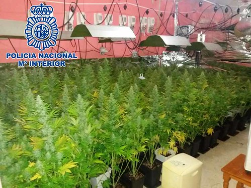 2017-09-19 La Línea Plantación Marihuana (1)1