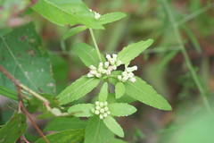 Stinky Camphorweed (Pluchea foetida)