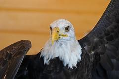 Eagle LMP1BEST