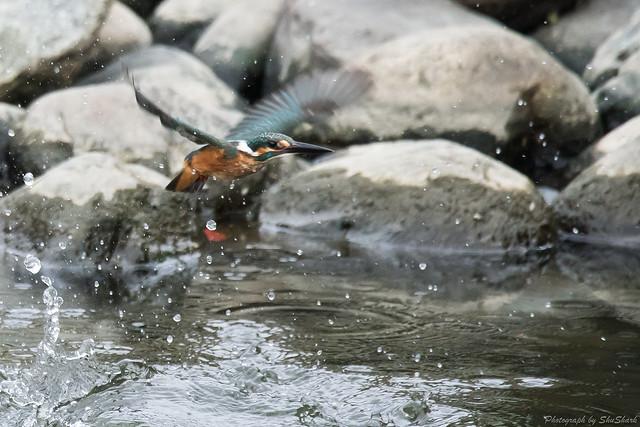 20170820-Kingfisher-DSC_0706