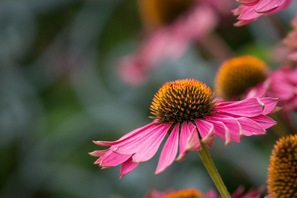 Pink Echinacea (Explored)