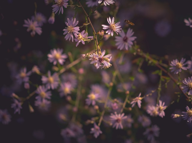 au royaume des asters / To the kingdom of asters