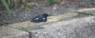 Oriental Magpie-Robin HKKL 10-13-16 2