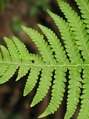 Broad Beech Fern or Southern Beech Fern - Phegopteris hexagonoptera  or Thelypteris hexagonoptera