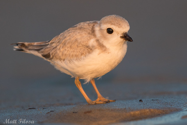 Piping Plover Teen