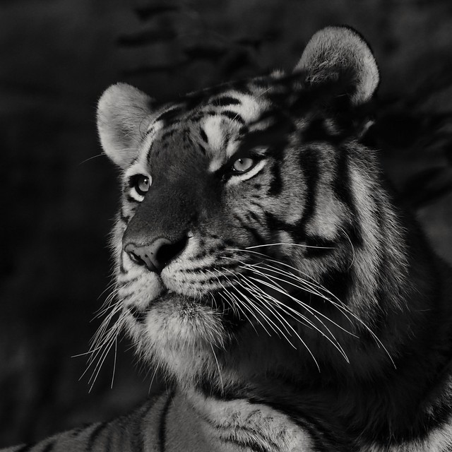 Tg Nbg  Tiger am Abend ... Tiger in the evening…                                    170823