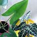 Pfeilblätter mit einzigartiger Blattstruktur