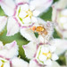 Bee Fly on Twinvine Flowers by jciv