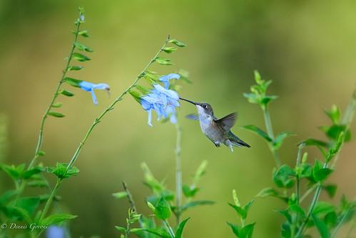 flower meadowlark virginia action bird hummingbird summer sunrise wildlife vienna unitedstates us