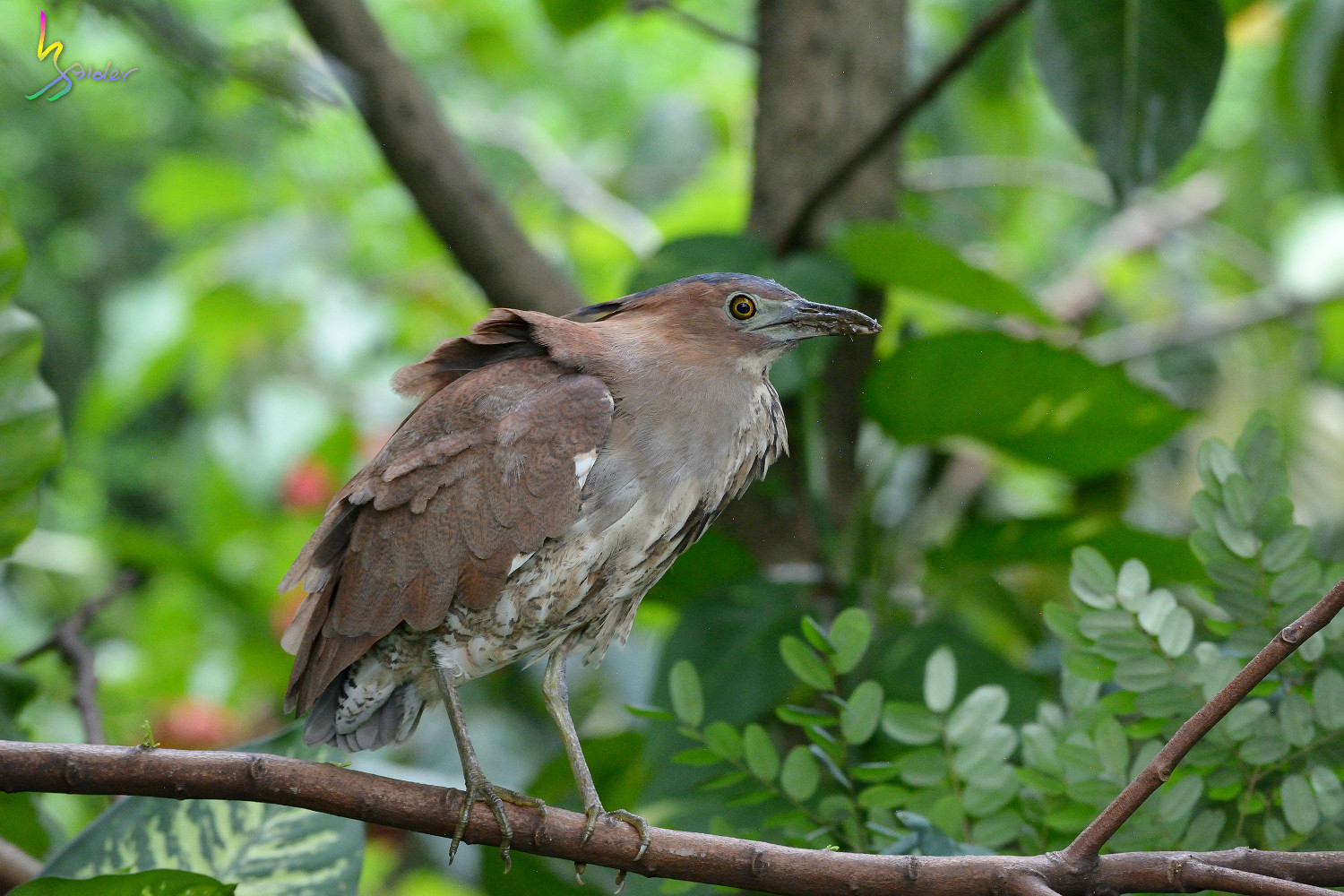 Malayan_Night_Heron_5357