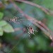 Small photo of A pair of spiders