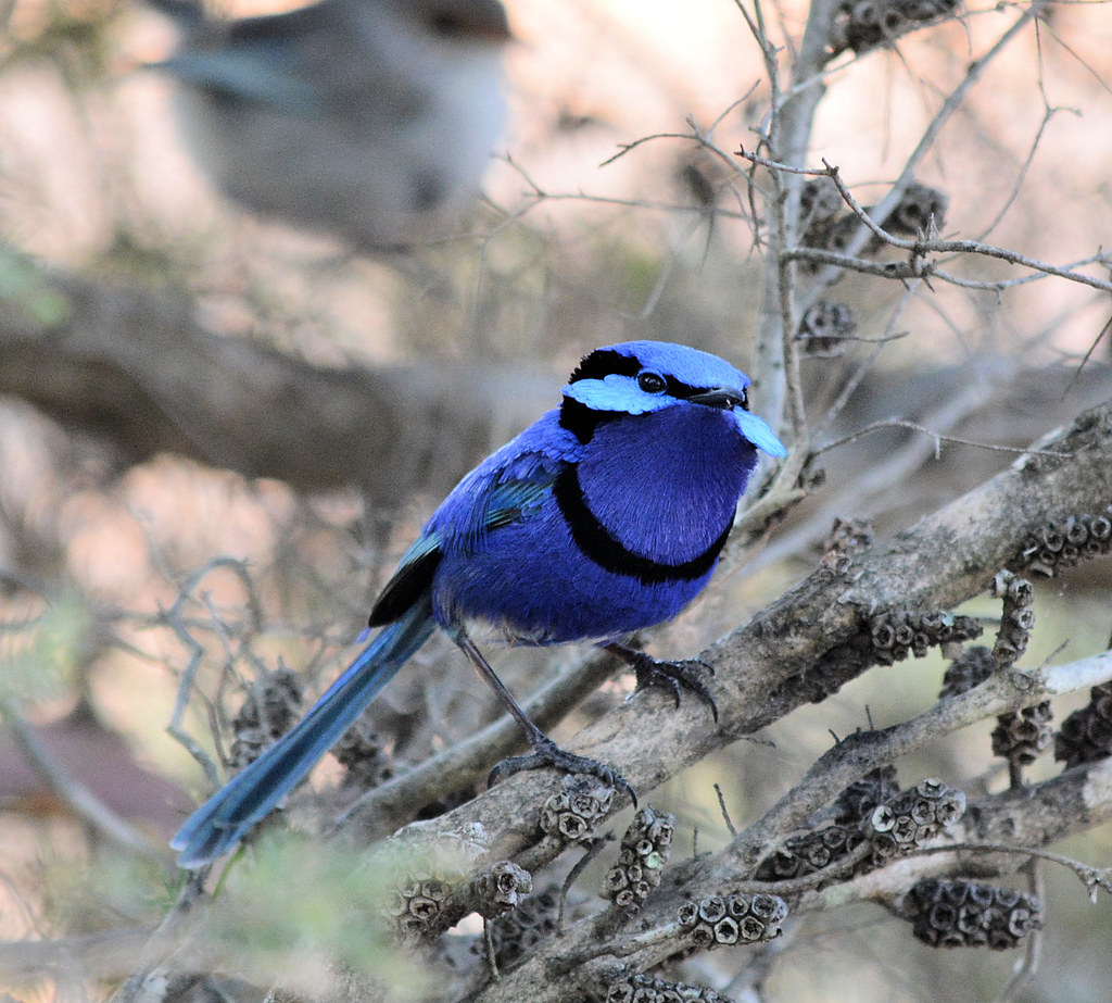 Fairy Wrens | BIRDS in BACKYARDS