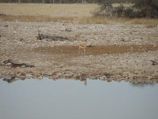 20170901 Etosha 0979 Springbok