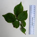 Ulmus x hollandica, Dutch Elm, side shoot upper side.