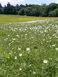 Oxe eye daisies in late May