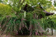 Japanese Bush Clover-Hagi