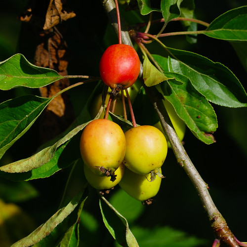 Red, yellow, green: crab apples ripening