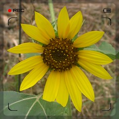 1daySunflower